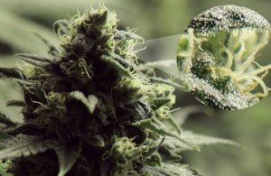 Marijuana Legale - Un Fenomeno di Diffusione Incontenibile.